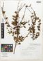 Salvia galloana B. L. Turner, Mexico, E. M. Martínez S. 5678, Isotype, F