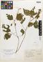 Salvia remissa Epling, Mexico, Y. Mexía 1559, Isotype, F