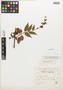 Salvia langlassei Fernald, Mexico, E. Langlassé 805, Isotype, F