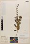 Salvia punctata Ruíz & Pav., PERU, H. Ruíz L., Isotype, F