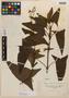 Salvia sagittata Ruíz & Pav., PERU, H. Ruíz L., Isotype, F