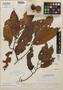 Virola glycycarpa Ducke, Brazil, A. Ducke 1508, Isotype, F