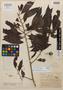 Virola brachycarpa Standl., British Honduras [Belize], J. A. Burns 20, Holotype, F