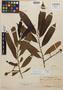 Virola nobilis A. C. Sm., Panama, R. H. Wetmore 155, Isotype, F