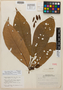 Virola obovata Ducke, Brazil, A. Ducke 1509, Isotype, F