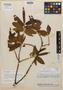 Virola flexuosa A. C. Sm., Brazil, B. A. Krukoff 6732, Isotype, F
