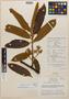 Virola kukachkana L. O. Williams, Peru, A. Aróstegui V. 115, Holotype, F