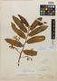 Virola glaziovii Warb., Brazil, A. F. M. Glaziou 20463, Isosyntype, F