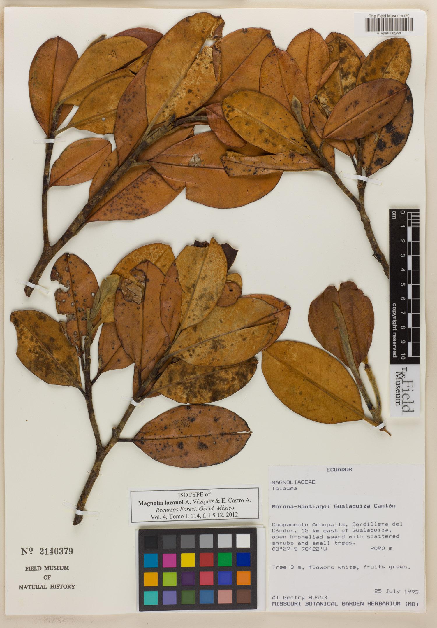 Specimen: Magnolia lozanoi