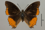 124978 Charaxes anticlea d IN