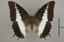 124980 Charaxes brutus d IN
