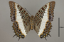 124980 Charaxes brutus v IN