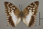 124986 Charaxes ameliae d IN