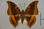 124988 Charaxes nichetes nichetes d IN