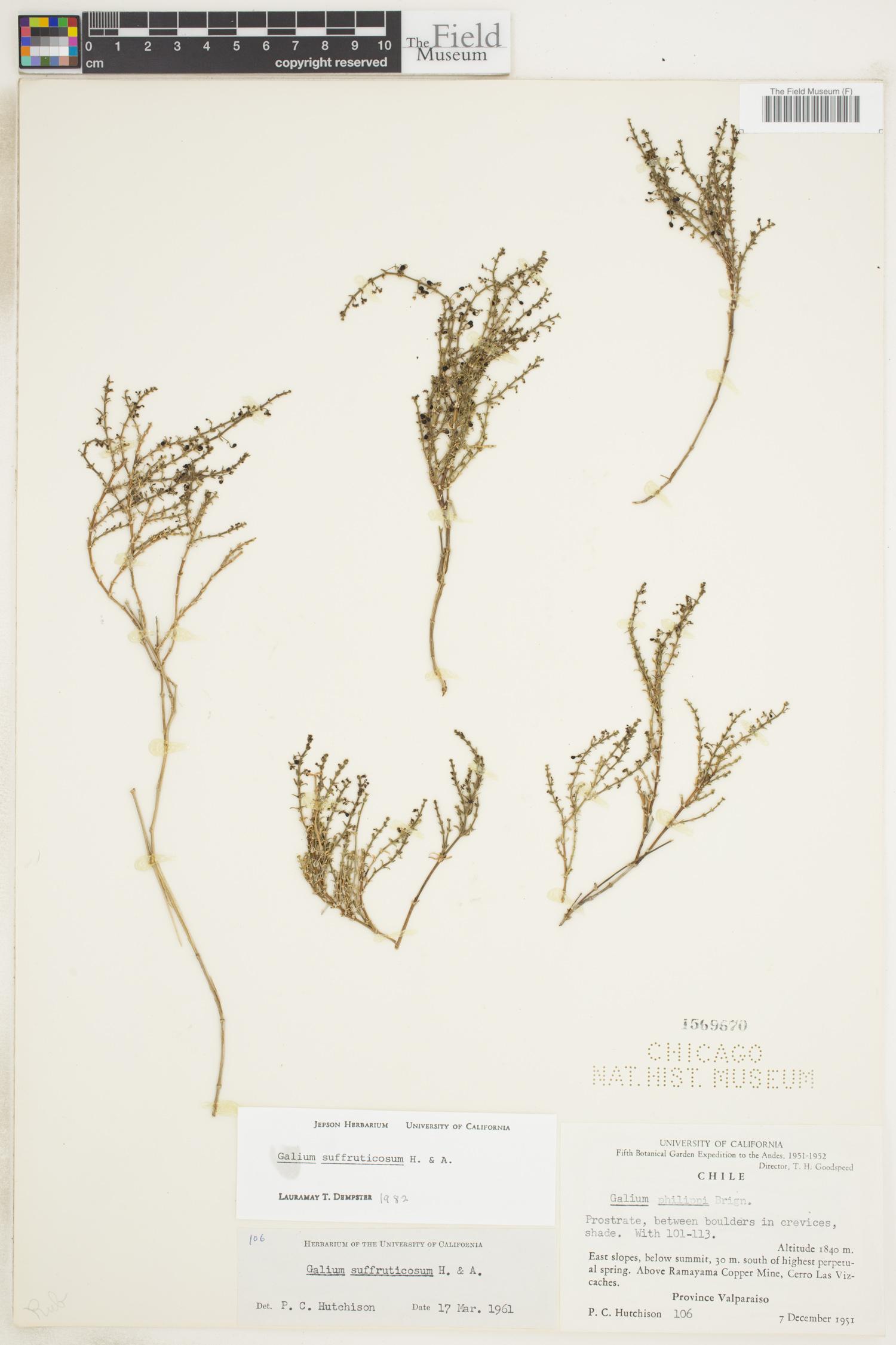 Galium suffruticosum image