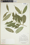 Faramea quinqueflora Poepp. & Endl., ECUADOR, F
