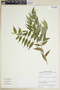 Faramea quinqueflora Poepp. & Endl., COLOMBIA, F