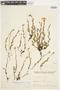 Crocanthemum brasiliensis image