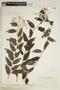 Tournefortia volubilis image