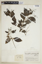 Tournefortia psilostachya image