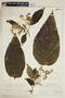 Tournefortia polystachya image