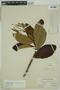 Clethra scabra Pers., BRAZIL, F