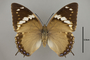 124990 Charaxes tiridates d IN