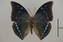 124991 Charaxes zelica d IN