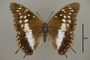 124993 Charaxes aubyni d IN