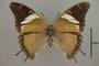 124994 Charaxes cedreatis d IN