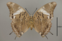124994 Charaxes cedreatis v IN