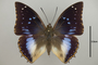 124995 Charaxes xiphares ludovici d IN