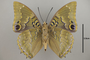 124995 Charaxes xiphares ludovici v IN