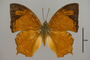 125000 Charaxes sp d IN