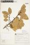 Calophyllum brasiliense Cambess., BRAZIL, F