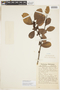 Calophyllum brasiliense Cambess., BOLIVIA, F