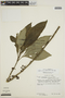 Hoffmannia villosula Standl., PERU, F
