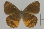 95308 Pedaliodes anchiphilonis PT v IN