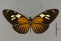 124327 Heliconius burneyi d IN