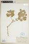 Achyranthes splendens image