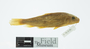 3565_Catostomus_sonorensis_right lateral view_paratype(s)_FZ_jpg
