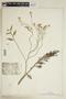 Rorippa aquatica (Eaton) Palmer & Steyerm., U.S.A., G. R. Vasey, F
