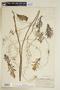 Rorippa aquatica (Eaton) Palmer & Steyerm., U.S.A., F. C. Gates 2312, F