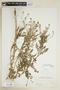 Rorippa palustris subsp. hispida (Desv.) Jonsell, U.S.A., Hur. H. Smith 5777, F