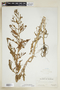 Rorippa palustris (L.) Besser subsp. palustris, U.S.A., Hur. H. Smith 5934, F