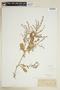 Rorippa alpina (S. Watson) Rydb., U.S.A., E. Hall 32, F