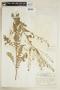 Rorippa palustris (L.) Besser subsp. palustris, U.S.A., J. A. Steyermark 6142, F