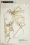 Rorippa palustris subsp. hispida (Desv.) Jonsell, U.S.A., F. A. Barkley 1908, F