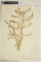 Rorippa palustris subsp. hispida (Desv.) Jonsell, U.S.A., H. N. Patterson s.n., F