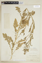 Rorippa palustris subsp. hispida (Desv.) Jonsell, U.S.A., R. H. Peebles 1742, F